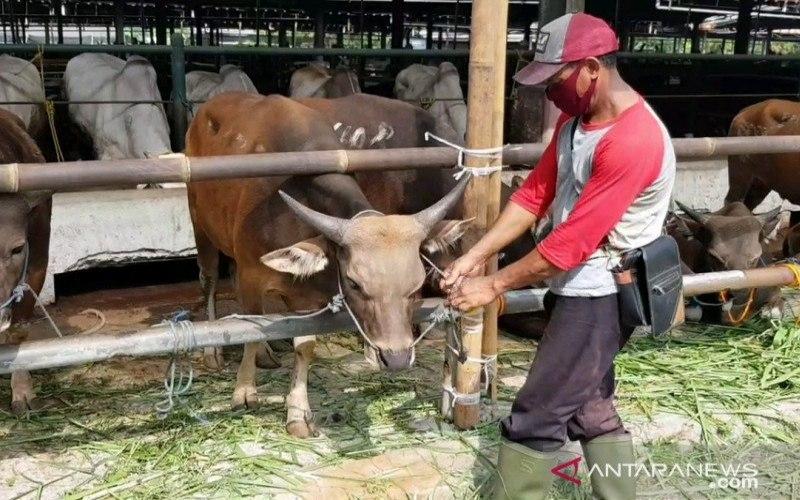 Penjual hewan kurban di Jalan Raya I Gusti Ngurah Rai, Jakarta Timur, memeriksa kesehatan sapi menjelang Iduladha 1441 Hijriah/2020 Masehi, Kamis (23/7/2020)./ANTARA - Andi Firdaus