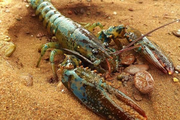 Lobster - Istimewa