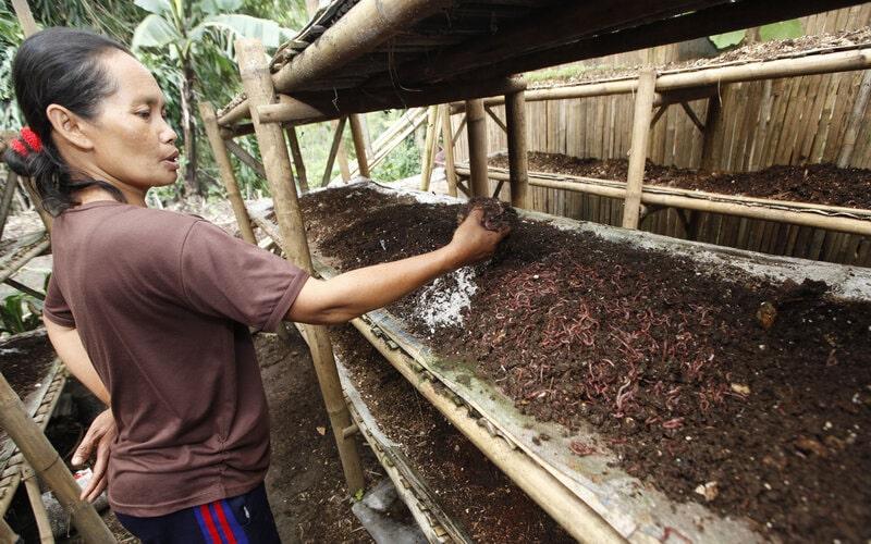 Paikem, 48, warga desa Kalisoro, Tawangmangu, Karanganyar merawat cacing-cacing yang diternak di rumahnya, Selasa (8/4). Cacing tersebut dijual dengan harga Rp100.000 per kilo yang banyak dibeli pedagang untuk pembuatan obat tradisional Cina dan bahan dasar pembuatan kosmetik. - JIBI/Sunaryo Haryo Bayu