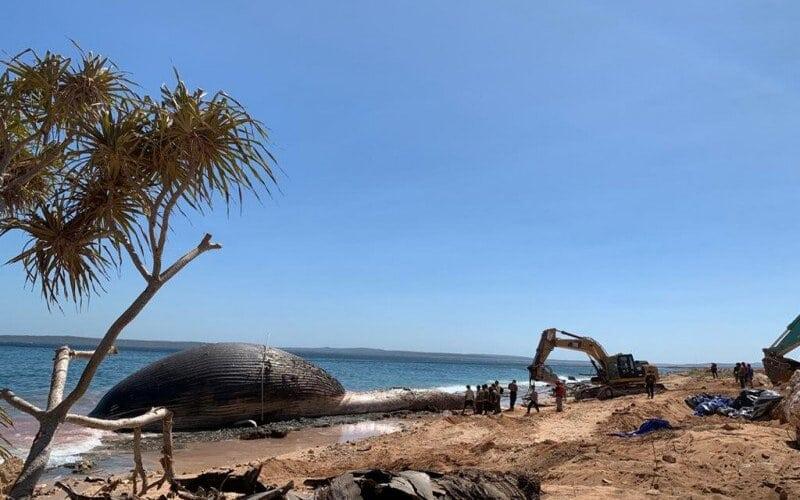 Proses penguburan paus biru yang terdampar di Pantai Nunhila, Kecamatan Alak, Kota Kupang, Nusa Tenggara Timur. - Antara/KKP
