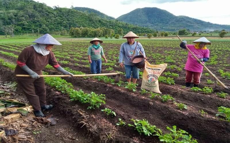 Petani Bolaang Mongondow menggunakan pupuk NPK Pelangi - Istimewa