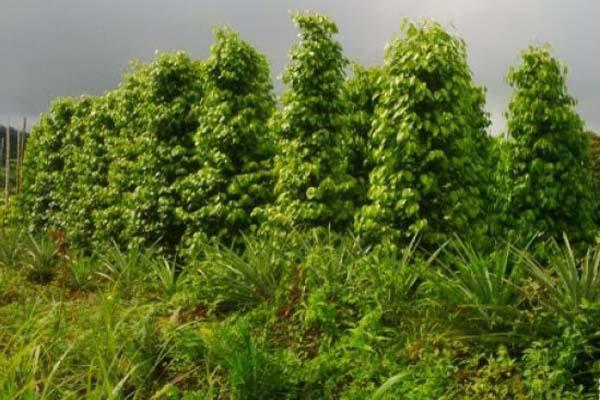 Kebun lada di Puring Kencana, Kapuas Hulu, Kalimantan Barat. - Antara