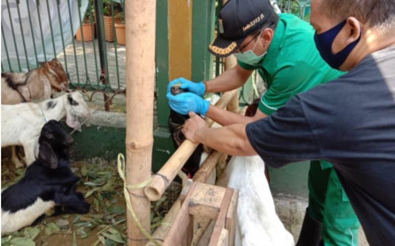 Suku Dinas Ketahanan Pangan Kelautan dan Pertanian (Sudin KPKP) Jakarta Selatan telah memeriksa 712 ekor hewan kurban di wilayah Setiabudi menjelang perayaan Hari Raya Iduladha 1441 Hijriah pada 31 Juli 2020. - beritajakarta.id