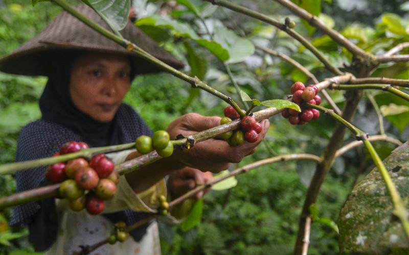 Petani memetik kopi robusta di Kawasan Kaki Gunung Galunggung, Kampung Ciakar, Kabupaten Tasikmalaya, Jawa Barat, Minggu (21/6/2020). Lahan seluas 30 hektare milik Perhutani yang ditanami kopi robusta dan arabika oleh Lembaga Masyarakat Desa Hutan (LMDH) Kelompok Galunggung Jaya, baru bisa memproduksi 1,5 ton dari luas lahan dua hektare dengan bagi hasil sebesar 25 persen perhutani dan 75 persen untuk petani, dan Kelompok Galunggung Jaya juga mengembangkan argo wisata kopi. ANTARA FOTO - Adeng Bustomi