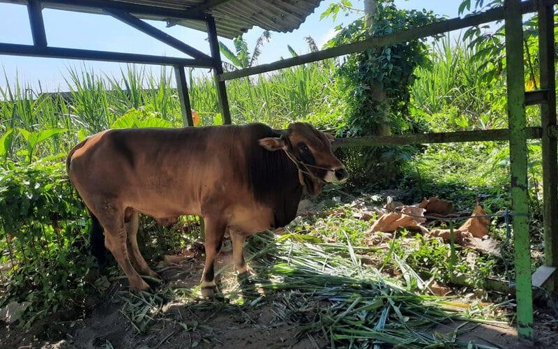 Sapi dan kambing kurban yang sudah disalurkan PG Krebet Baru pada perayaan Iduladha tahun ini. - Istimewa