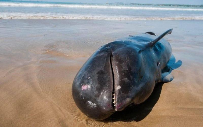 Seekor anak paus spesies paus pilot. Dokumen. - Antara
