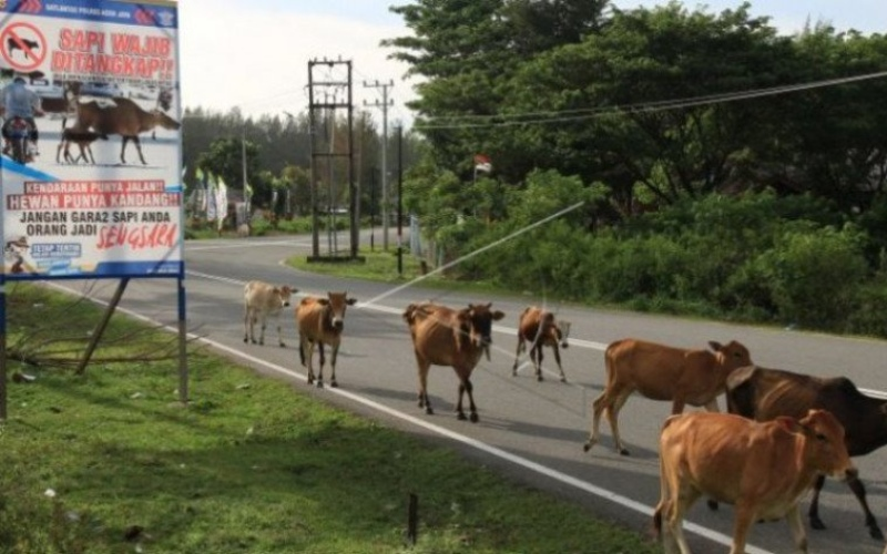 Ternak sapi liar melintas di Jalan Lintas Banda Aceh-Tapak Tuan Kecamatan Krueng Sabee, Aceh Jaya, Aceh. Antara - Syifa Yulinnas