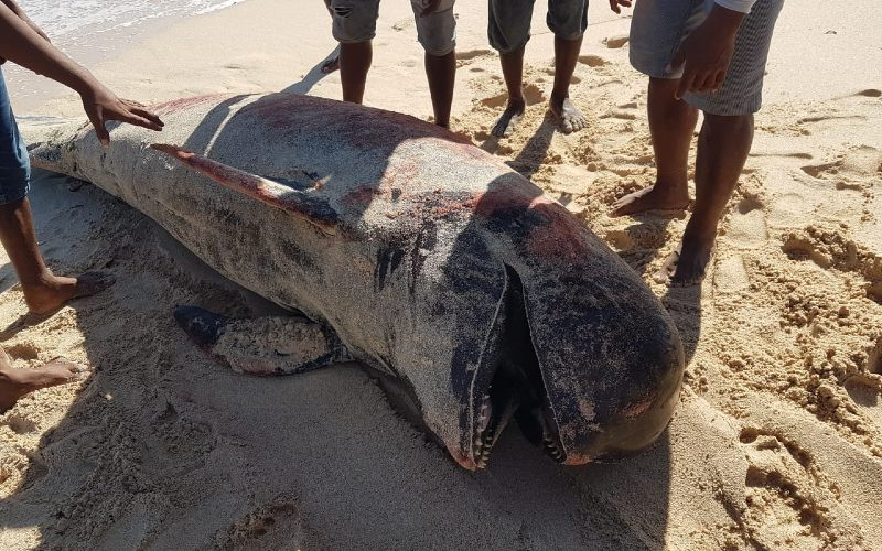 Ikan Paus Pilot terdampar di Pantai Lie Jaka, NTT. - KLHK