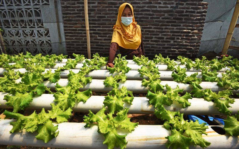 Petani merawat tanaman selada (Lactuca sativa) dengan sistem hidroponik. ANTARA