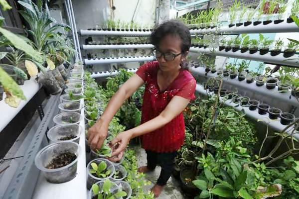Warga merawat tanaman sawi yang ditanam secara vertiminaponik di rumahnya, Sewu, Jebres, Solo, Selasa (21/2). - JIBI/Nicolous Irawan