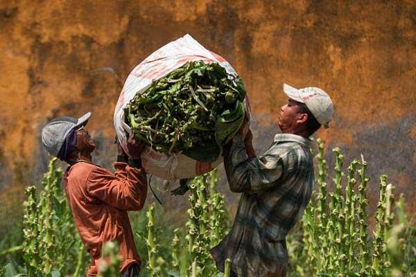Buruh tani mengangkat daun tembakau hasil panen.  - ANTARA/Mohammad Ayudha
