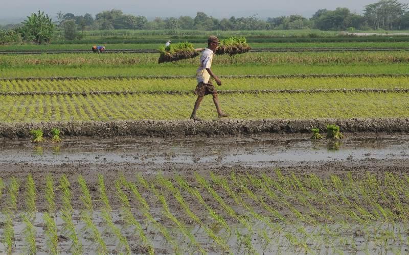 Petani memikul benih padi yang akan di tanam pada lahan pertanian di Sawit, Boyolali, Jawa Tengah, Selasa (5/5/2020). -  Antara
