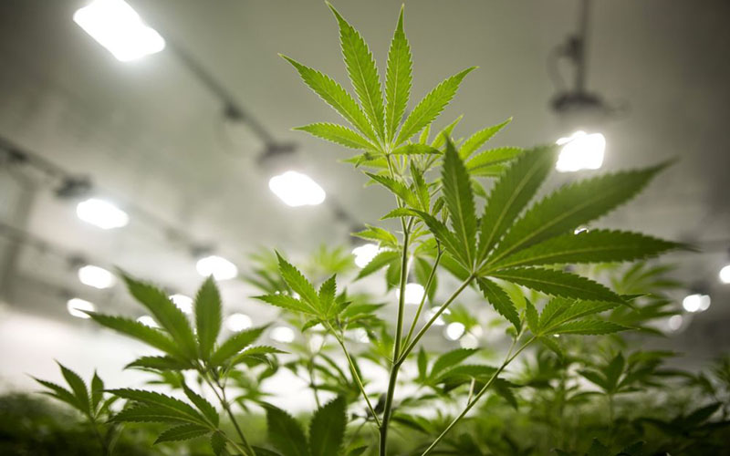 Tanaman ganja atau mariyuana - Bloomberg/Chris Roussakis
