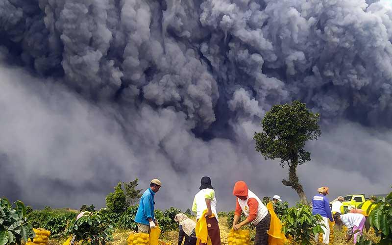 Warga memanen kentang dengan latar belakang Gunung Sinabung yang menyemburkan material vulkanik di Karo, Sumatera Utara, Senin (10/8/2020). Gunung Sinabung erupsi dengan tinggi kolom 5.000 meter di atas puncak atau sekitar 7.460 meter di atas permukaan laut. ANTARA FOTO - Sastrawan Ginting