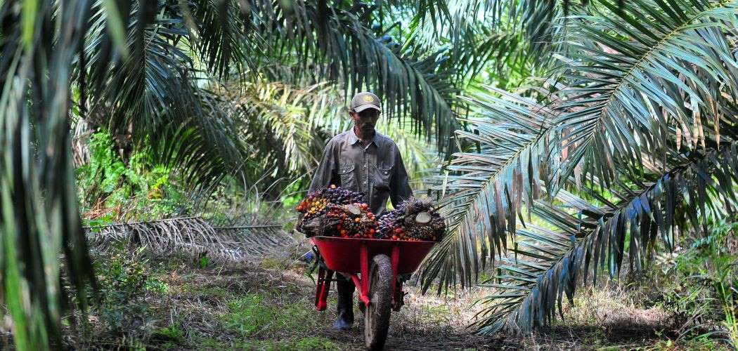 Pekerja mengangkut tandan buah segar (TBS) kelapa sawit di Muara Sabak Barat, Tajungjabung Timur, Jambi, Jumat (10/7/2020). - Antara / Wahdi Septiawan.