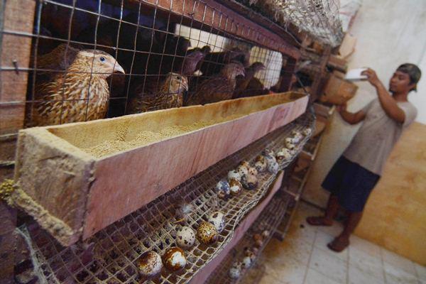 Ilustrasi - Peternak memanen telur di sentra budidaya burung puyuh di Serpong Utara, Kota Tangerang Selatan, Banten, Senin (27/2). - Antara/Nunung Purnomo