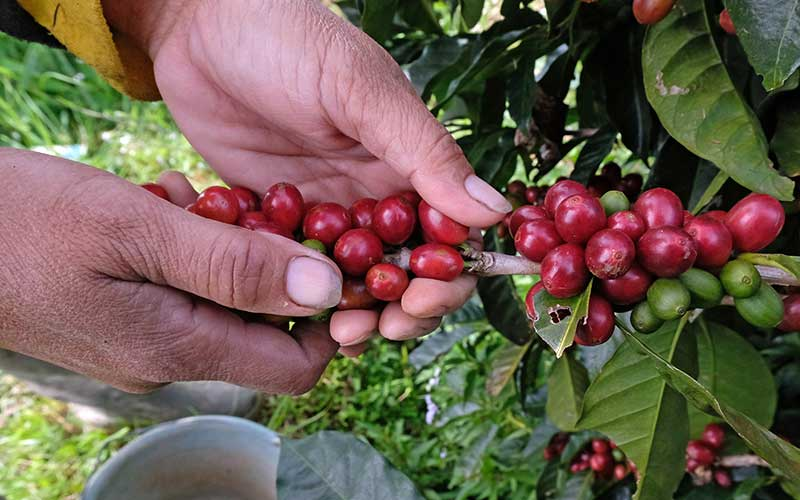 Petani memetik kopi Arabika (Coffea arabica) di perladangan lereng gunung Sindoro Desa Canggal, Candiroto, Temanggung, Jawa Tengah, Jumat (19/6/2020). Menurut petani, musim panen tahun ini harga kopi Arabika merosot tajam menjadi Rp5.000 per kilogram dari harga tahun sebelumnya yang mencapai Rp9.000 per kilogram biji basah di tingkat petani. ANTARA FOTO - Anis Efizudin