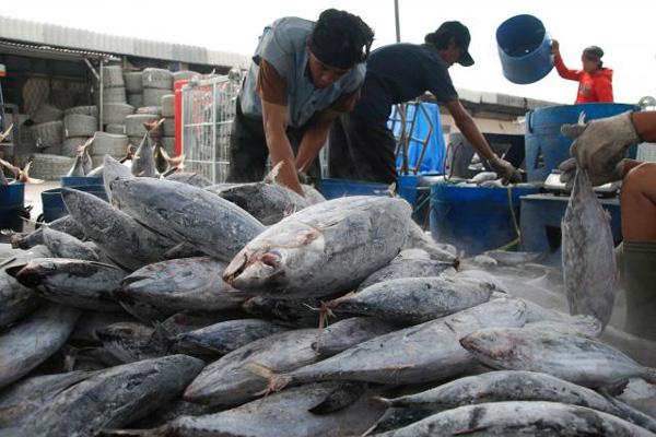 Ilustrasi: ikan tangkapan nelayan