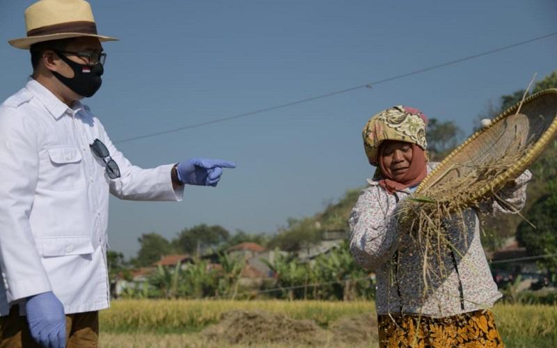 Gubernur Jawa Barat Ridwan Kamil meninjau panen raya padi hasil metode jamu organik Biogro atau jamu penyubur tanaman di Kelurahan Cibeber, Kota Cimahi. - Istimewa
