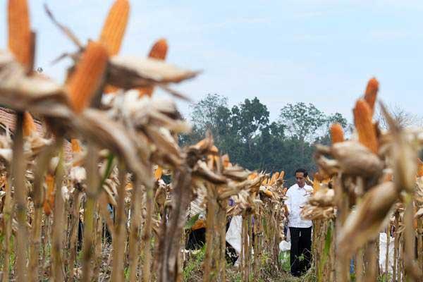 Presiden Joko Widodo memanen jagung. - ANTARA/Zabur Karuru