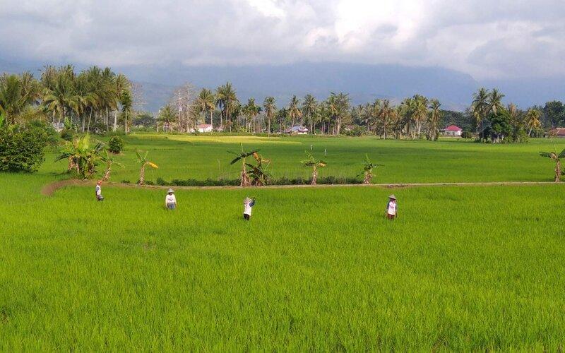 Petani tengah berada di sawah kawasan Singkarak Kabupaten Solok, Sumatra Barat.  - Bisnis/Noli Hendra