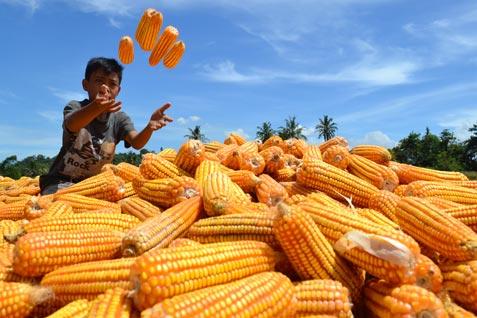 Ilustrasi: Panen jagung