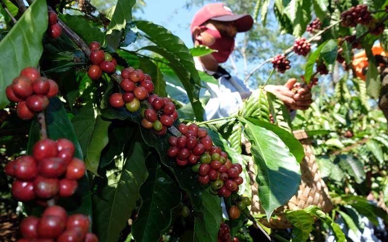 Seorang petani memanen kopi Robusta (Coffea canephora) saat panen perdana di perladangan Desa Jambon, Kandangan, Temanggung, Jawa Tengah, Selasa (25/8/2020). Kabupaten Temanggung merupakan penghasil kopi terbesar di Jawa Tengah dengan lahan kopi seluas 12.000 hektare dan menghasilkan 30 persen ekspor kopi dari Pulau Jawa. ANTARA FOTO - Anis Efizudin