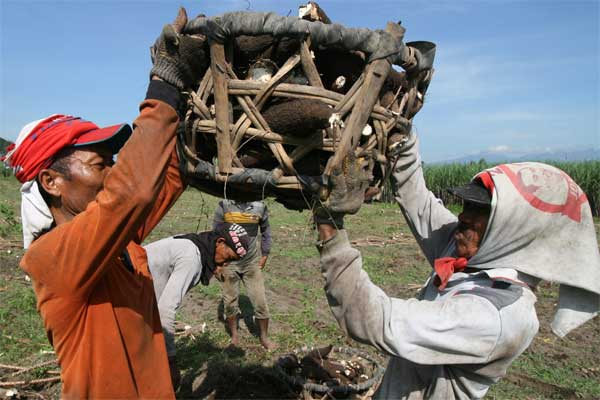 Pekerja memanen singkong sebagai bahan baku tepung tapioka. - Antara/Prasetia Fauzani