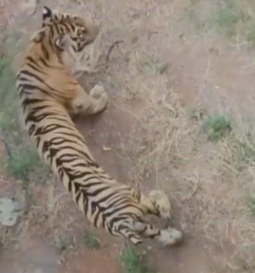 Baksi, harimau berusia 14 tahun di Maharani Zoo. - tangkapan video