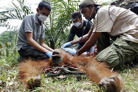 Evakuasi orangutan - Antara