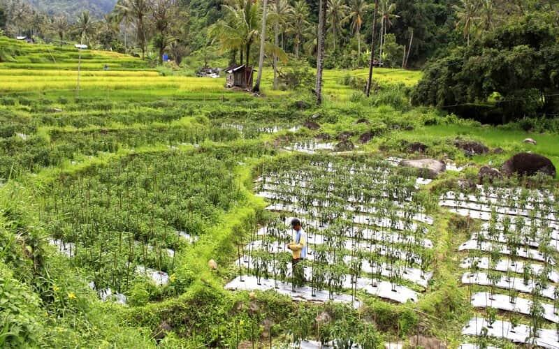 Seorang petani tengah berada di lahan pertanian di daerah Kabupaten Solok, Sumatra Barat. - Bisnis/Noli Hendra