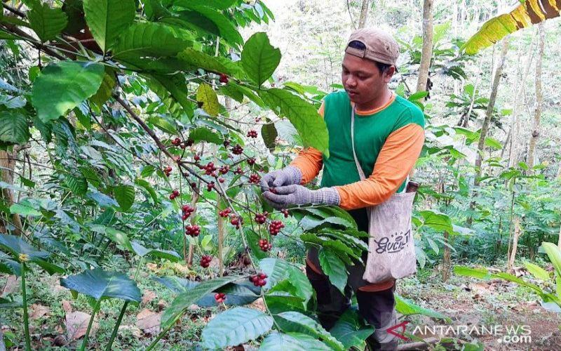 Petani memanen kopi di Desa Gucialit, Kecamatan Gucialit, Kabupaten Lumajang, Jawa Timur. - ANTARA/Diskominfo Lumajang