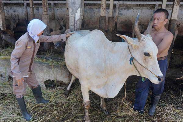 Petugas memeriksa sapi di Rumah Pemotongan Hewan (RPH) Dinas Peternakan dan Pangan, Pekalongan, Jawa Tengah, Selasa (8/1/2019). - ANTARA/Harviyan Perdana Putra