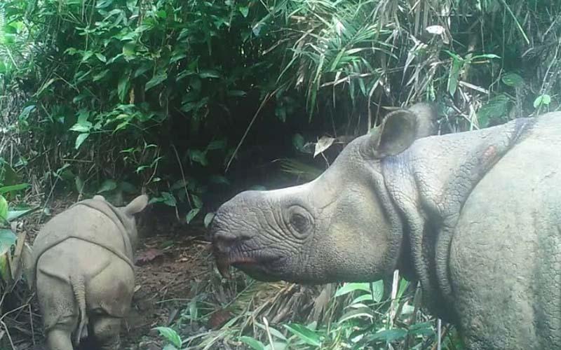 Menteri Lingkungan Hidup dan Kehutanan Siti Nurbaya juga berkesempatan memberikan nama anak badak jantan dengan nama Luther, dan yang betina diberi nama Helen. - Istimewa