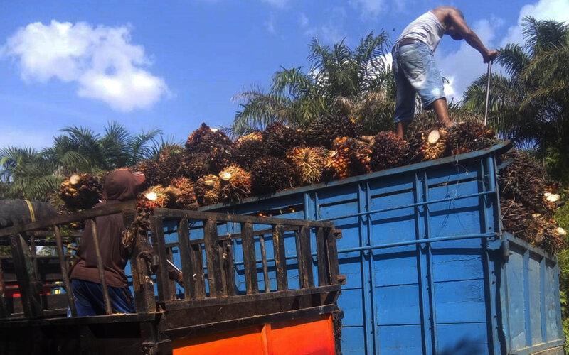 Seorang pekerja tengah mengangkut hasil panen kelapa sawit rakyat yang ada di  daerah Kabupaten Dharmasraya Sumbar. - Bisnis/Noli Hendra