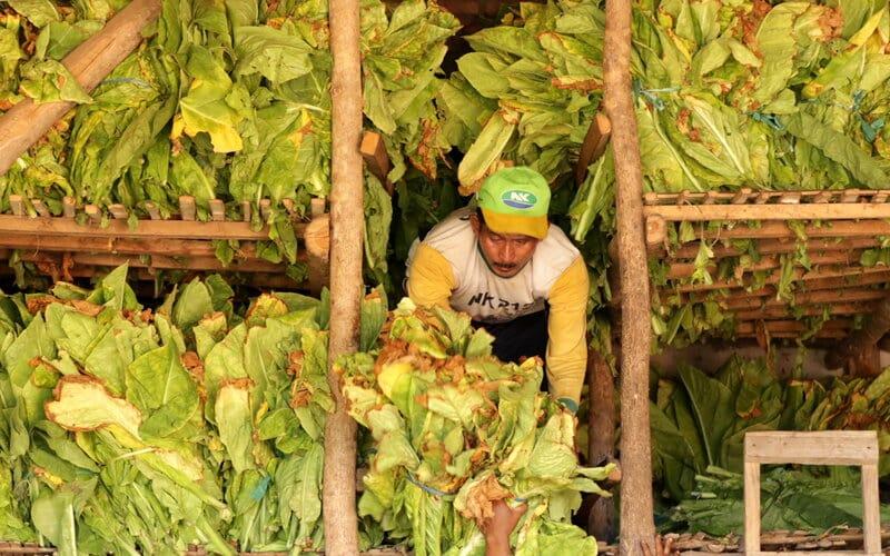 Pekerja memasukan daun tembakau hasil panen ke dalam gudang di Sidowangi Wongsorejo, Banyuwangi, Jawa Timur, Senin (21/9/2020). Petani setempat mengaku terpaksa menyimpan hasil panen di gudangnya dikarenakan harga tembakau turun dan kesulitan menjual hasil panennya karena tidak ada permintaan dari pabrik. - Antara/Budi Candra Setya