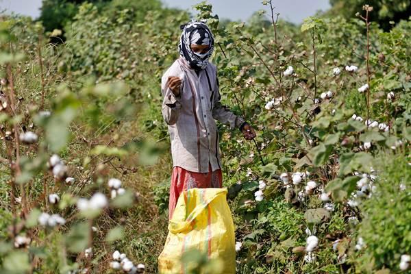 Petani memanen tanaman kapas. - REUTERS/Amit Dave
