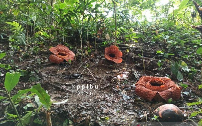 Tiga bunga langka dilindungi raflesia kemumu mekar sempurna di habitat aslinya di kawasan Air Terjun Curug 9 Kabupaten Bengkulu Utara. - Istimewa/Dani KPPL Bengkulu Utara