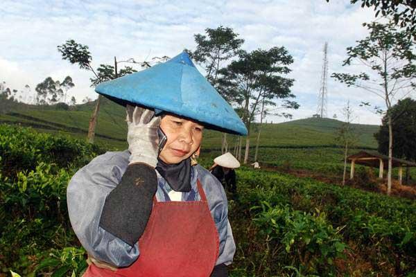Pemetik teh berkomunikasi menggunakan telepon seluler di kawasan perkebunan Kampung Ciarileu, Desa Mekarjaya, Kecamatan Cikajang, Kabupaten Garut, Jawa Barat, Rabu (9/8). - ANTARA/Fahrul Jayadiputra