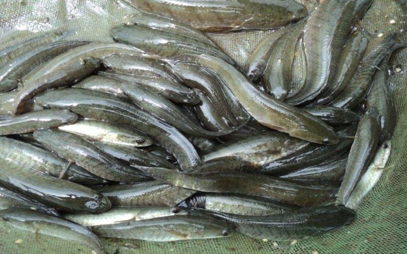 Ikan Gabus.  - KKP