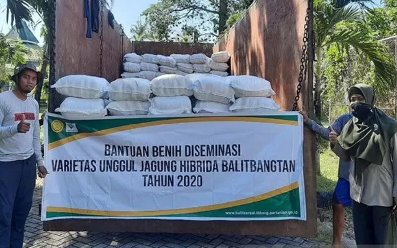 Benih jagung hibrida toleran kekeringan hasil inovasi Badan Litbang Pertanian siap disalurkan untuk petani di Nusa Tenggara Timur (NTT). ANTARA