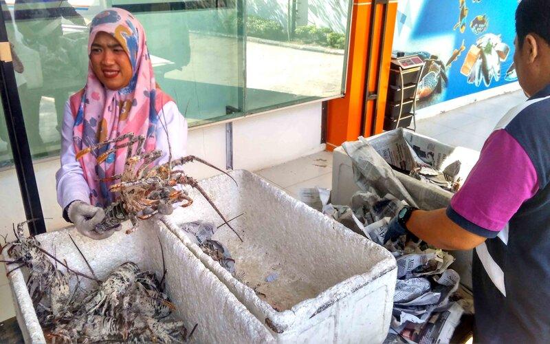 Petugas BKIPM Padang tengah memeriksa lobster laut sebelum di ekspor melalui jalur udara di Bandara Internasional Minankabau. - Bisnis/Noli Hendra