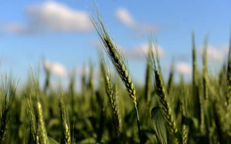 Ladang gandum di Ramallo, Provinsi Buenos Aires. Argentina, pengekspor gandum terbesar keempat di dunia, menjadi negara pertama yang menyetujui komersialisasi berbagai gandum transgenik. - AFP/Eitan ABRAMOVICH