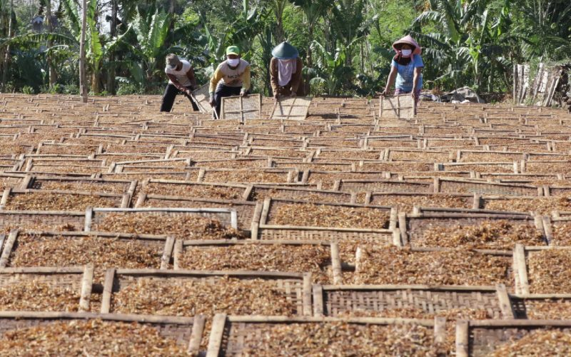 Pekerja menjemur tembakau rajang di Sidowangi Wongsorejo, Banyuwangi, Jawa Timur, Senin (21/9/2020). Petani setempat mengaku terpaksa menyimpan hasil panen di gudangnya karena harga tembakau turun dan kesulitan menjual hasil panennya karena tidak ada permintaan dari pabrik. - Antara