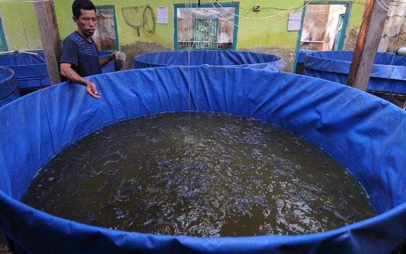Suratman peternak ikan lele memberikan pakan ikan yang ia budidayakan di Bletengan, Copokosawit, Sawit, Boyolali, Jawa Tengah, Selasa (22/9/2020).  - ANTARA
