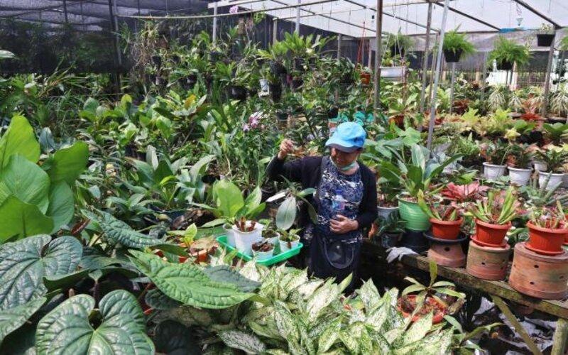 Pengunjung memilih aneka tanaman hias di sentra penjualan tanaman di Kawasan Ragunan, Jakarta, Sabtu (18/7/2020). Menurut pedagang, penjualan berbagai jenis tanaman hias saat ini mengalami peningkatan hingga 50 persen karena meningkatnya minat masyarakat untuk bercocok tanam saat mengisi waktu dirumah selama masa pandemi Covid-19. - Bisnis/Eusebio Chrysnamurti