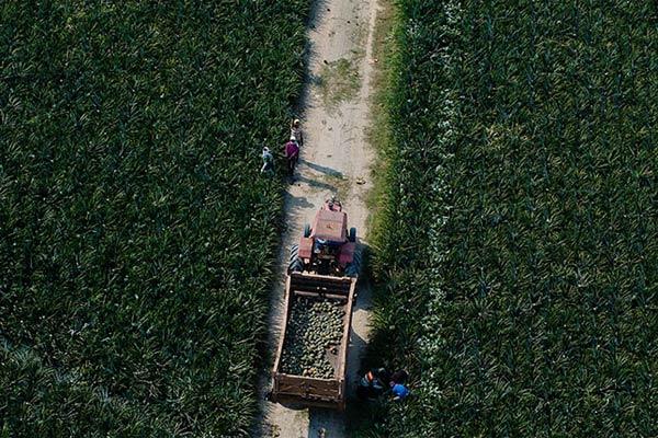 PT Great Giant Pineapple (GGP), sebagai perusahaan swasta terbesar penghasil produk hortikultura di Indonesia, melakukan ekspansi bisnis di Kabupaten Tanggamus dengan konsep CSV.  - GPP