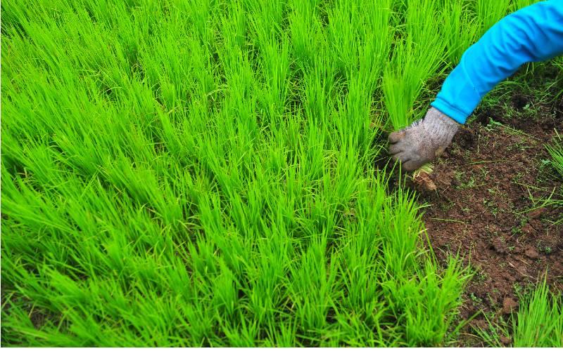 Ilustrasi-Petani mengumpulkan bibit padi usia 3 pekan - Antara
