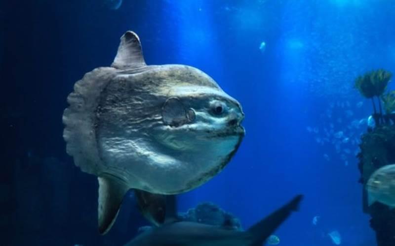 Ikan Mola/mola