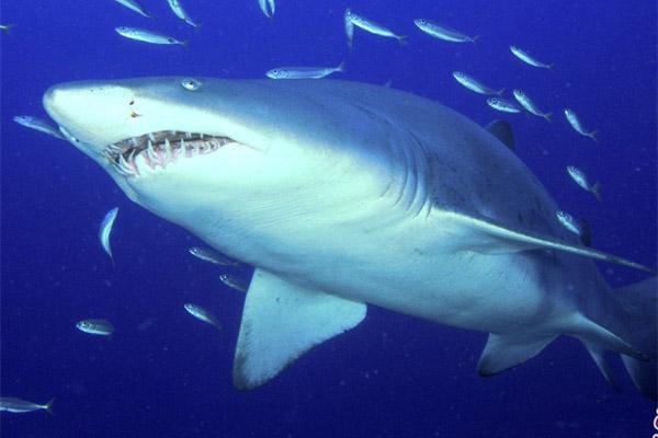 Ikan hiu - Bisnis.com